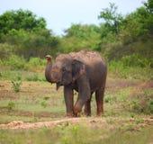 Wild indian elephant raises the trunk Stock Photos