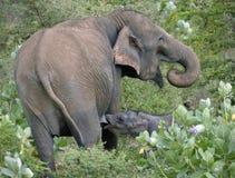 Wild indian elephant suckling calf Stock Photography