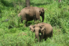 Wild Indian elephants. Wild elephants in a forest royalty free stock photo