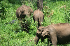 Wild indian elephants. Wild elephant in a forest stock photo