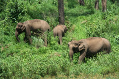 Wild Indian elephants. Indian Wild elephants in a forest stock image