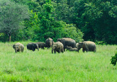 Wild Indian elephants in the nature. Large family of wild Indian elephants in the nature of Sri Lanka Stock Image