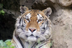 Wild indian tiger portrait. The wild indian tiger portrait Stock Images