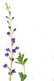 Wild Indigo. Photograph of a beautiful purple Wild Indigo flower, and leaf stalk, isolated nicely against a white background Stock Image