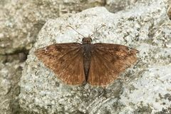 Wild Indigo Duskywing Butterfly - Erynnis baptisiae. An old and tattered Wild Indigo Duskywing Butterfly is resting on a rock. Edwards Gardens, Toronto, Ontario royalty free stock image