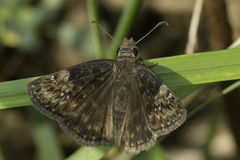 Wild Indigo Duskywing Butterfly Stock Images