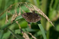 Wild Indigo Duskywing Butterfly. Perched on a blade of grass. Colonel Danforth Park, Toronto, Ontario, Canada Royalty Free Stock Photos