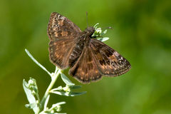 Wild Indigo Duskywing Butterfly Royalty Free Stock Image
