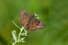 Wild Indigo Duskywing Butterfly. Perched on a flower. Todmorden Mills, Toronto, Ontario, Canada Stock Photography