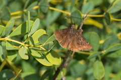 Wild Indigo Duskywing Butterfly. Perched on a leaf. Edwards Gardens, Toronto, Ontario, Canada Stock Photos
