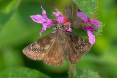 Wild Indigo Duskywing Butterfly. Perched on a purple flower. Windemere Basin, Hamilton, Ontario, Canada Stock Images