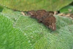 Wild Indigo Duskywing Butterfly. Wild Indigo Duskywing perched on a leaf. Edwards Gardens, Toronto, Ontario, Canada Stock Photos