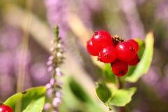 Wild inedible red berries cornus suecica Royalty Free Stock Photo