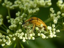 Wild insect weevil closeup. Wild insect pest weevil closeup stock images