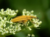 Wild insect weevil closeup. Wild insect pest weevil closeup stock photography