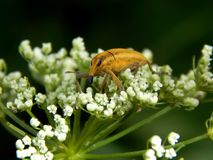 Wild insect weevil closeup. Wild insect pest weevil closeup stock photo