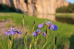 wild iris Arkivfoto
