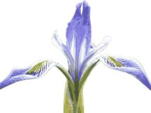 Wild Iris 2 Stock Photography