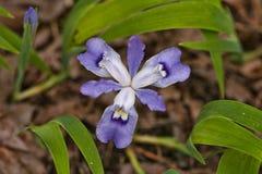 wild iris Royaltyfria Foton