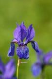 wild iris Fotografering för Bildbyråer