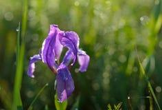 wild iris Royaltyfria Bilder