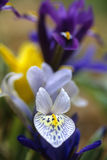 Wild iris Royalty Free Stock Photography
