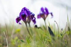 wild iris Arkivbilder