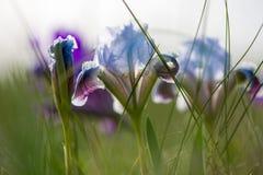 wild iris Arkivbild