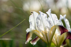 wild iris Royaltyfri Fotografi