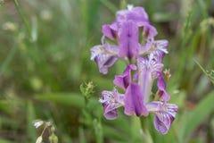 wild iris Arkivfoton