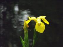 wild iris Royaltyfri Foto