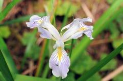 Wild Iris, California Redwoods. Up close light purple wild Iris with bright yellow and white designs amid green background Royalty Free Stock Photo