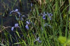 Wild Iris blooming vivid blue in the marsh stock images