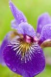 wild iris för blå flagga Royaltyfri Fotografi