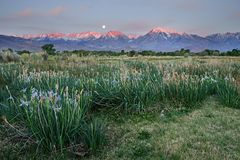 Wild Iris In Field With Moonset And Mountain Sunrise Stock Photo