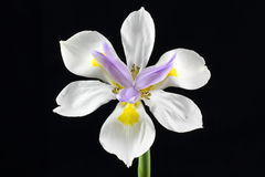 Wild Iris flower isolated Royalty Free Stock Photos