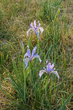 Wild Iris Flowers Stock Photography