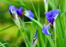 Wild iris flowers Stock Photos