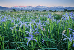 Wild Iris Flowers With Mountains. Wild iris flowers in a field near Bishop California with early morning Sierra Mountains in the background Stock Images