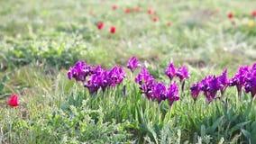 Wild iris flowers stock video