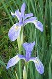Wild Iris Flowers Stock Images
