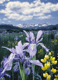 Wild Iris H1. Beautiful painting of Wild Iris in meadow with snowy mountains in the distance Royalty Free Stock Image