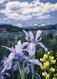 Wild Iris H1 Royalty Free Stock Image