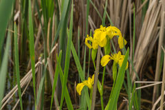 Wild iris. Increased in delta Neajlov, Romania Royalty Free Stock Photos