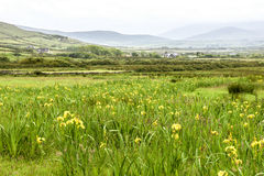 Wild iris in Ireland Stock Images