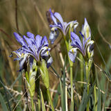 Wild Iris, Iris versicolor Royalty Free Stock Photography