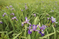 Wild iris in a meadow. Wild iris growing in a meadow Royalty Free Stock Images