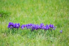 Wild iris Stock Photography