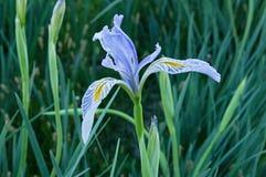 Wild Irisblomma Arkivfoton