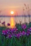 Wild irises against the sunset. Stock Images